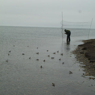 [Mist netting phalaropes]