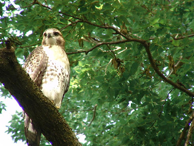 [Second view os a fledgling Red-tailed Hawk, Elmwood Park, 2008]