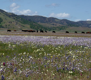 Bear Valley wildflowers Colusa County