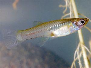 female mosquito fish - gambusia affinis