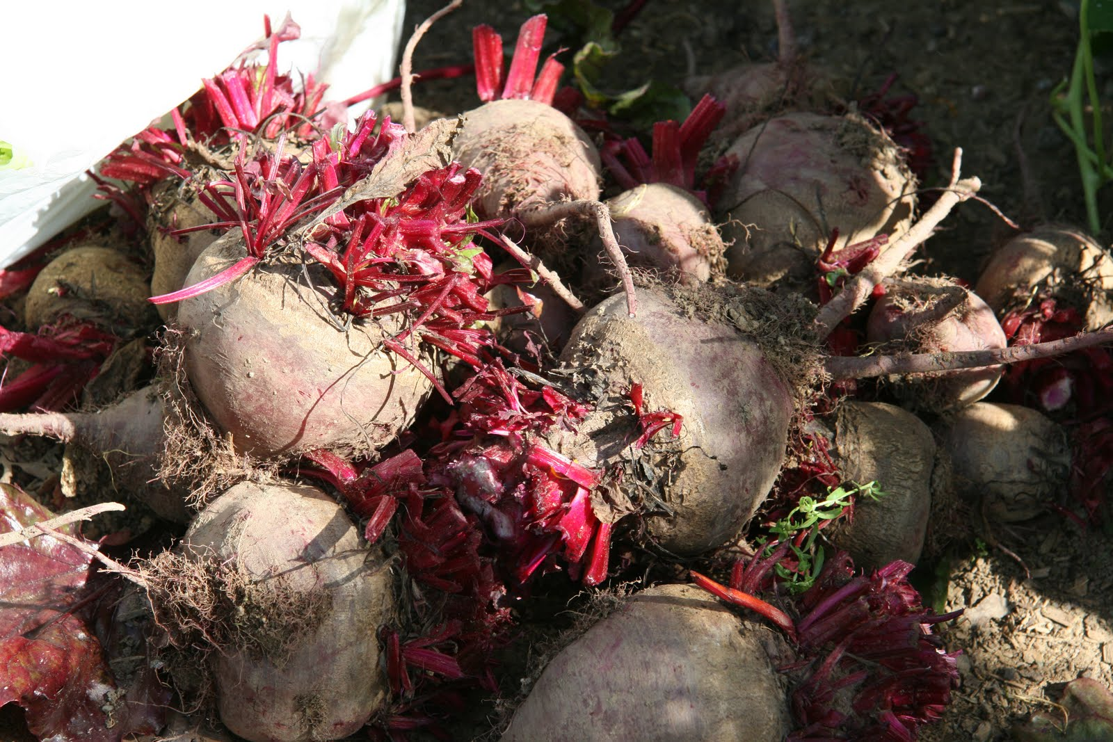 Beets Our Harvest And A Pickled Spiced Beet Recipe Uc Davis Good Life Garden