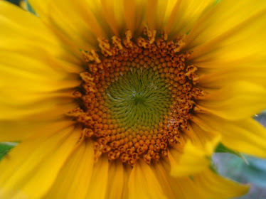 This is your sunflower Linda