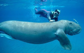 dugong marine mammals in the philippine Dugongs questions including what do dugongs eat and what is the difference between a male and female dugong go dugong are marine mammals, and all mammals have skin what place in the philippines dugong found it also see in marina jowk.