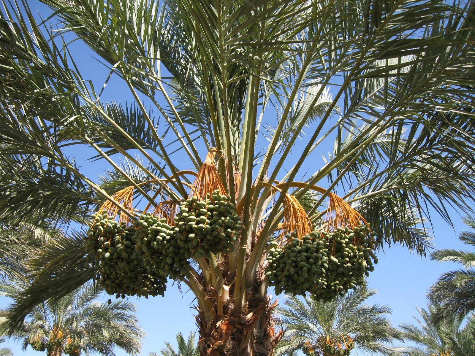 Cynthia 39 S Hi Desert Blog Oasis Date Gardens