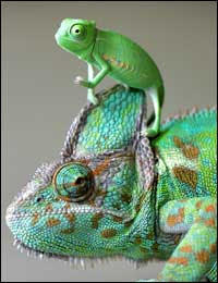 Cute baby and mother chameleon jpg