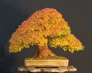 Acer sp maple bonsai - Arce rubrum bonsai ...