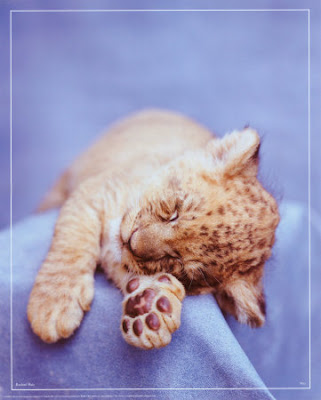 Cute Baby Lion Cub Pictures | Pictures of Lions