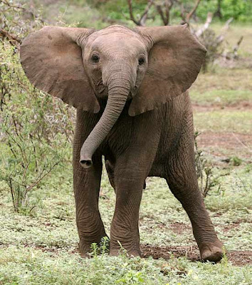 Elephant newborn baby - photo#25