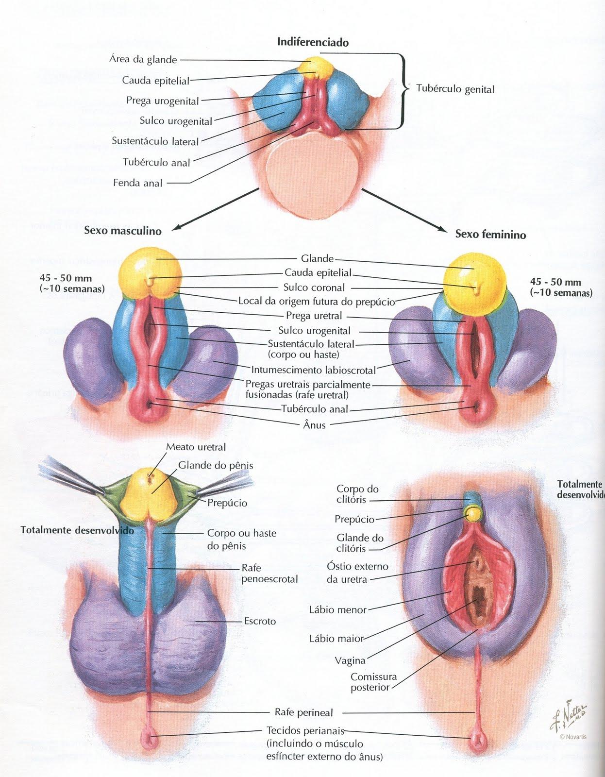 Arquivos H. Ellis, Sexualidade e Reprodução Humana: PÊNIS e VAGINA ...