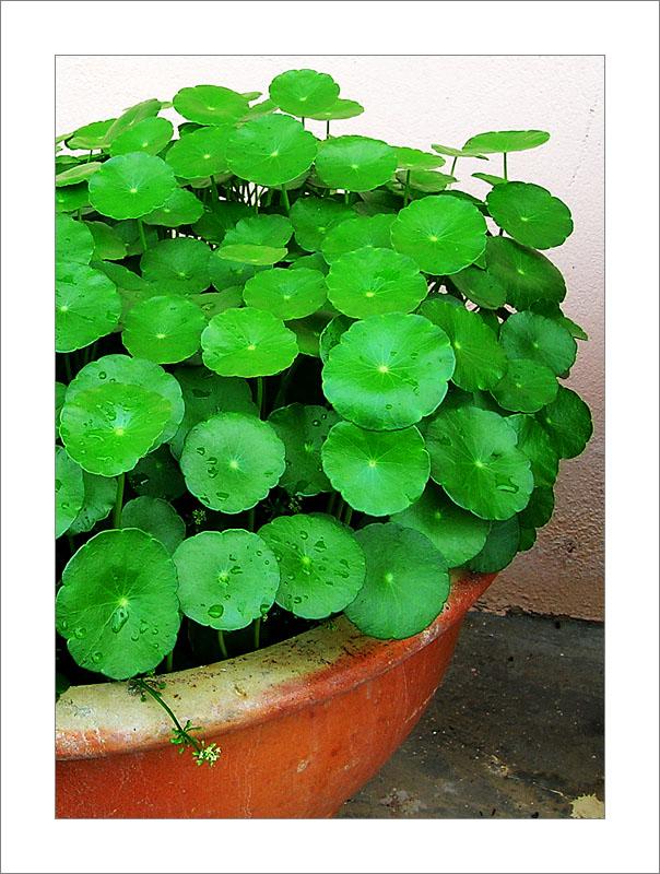 Centella asiatica выращивание 100