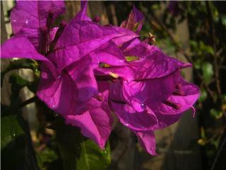 Floresita