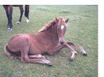 Lexie as a foal