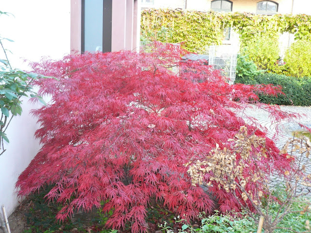 Giardini in gallura acero giapponese for Acero giapponese