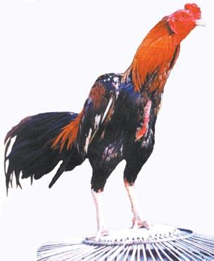 Ayam Jago Lincah Menari di Kemacetan