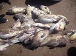 Algunos de los Meros Pescados