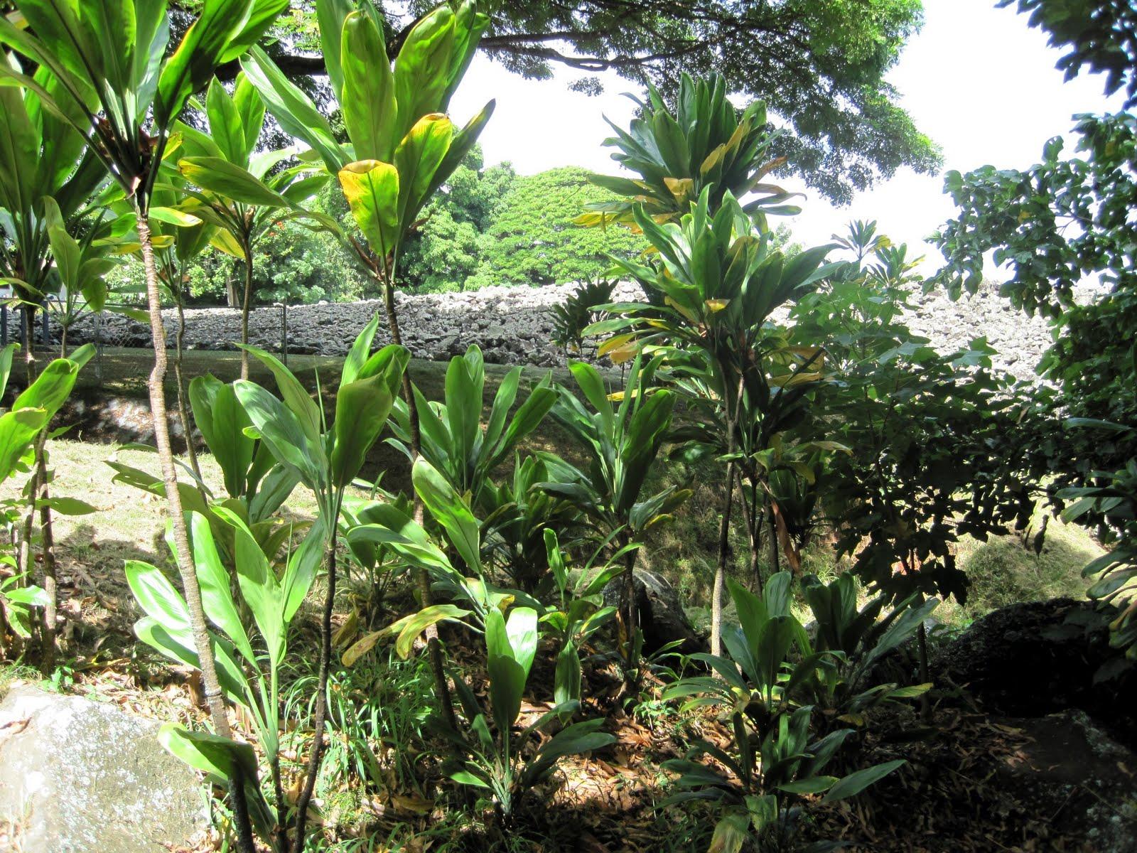 Experience hawaii enjoy honolulu festival native hawaiian native hawaiian plants part 1 ti leaf plant izmirmasajfo