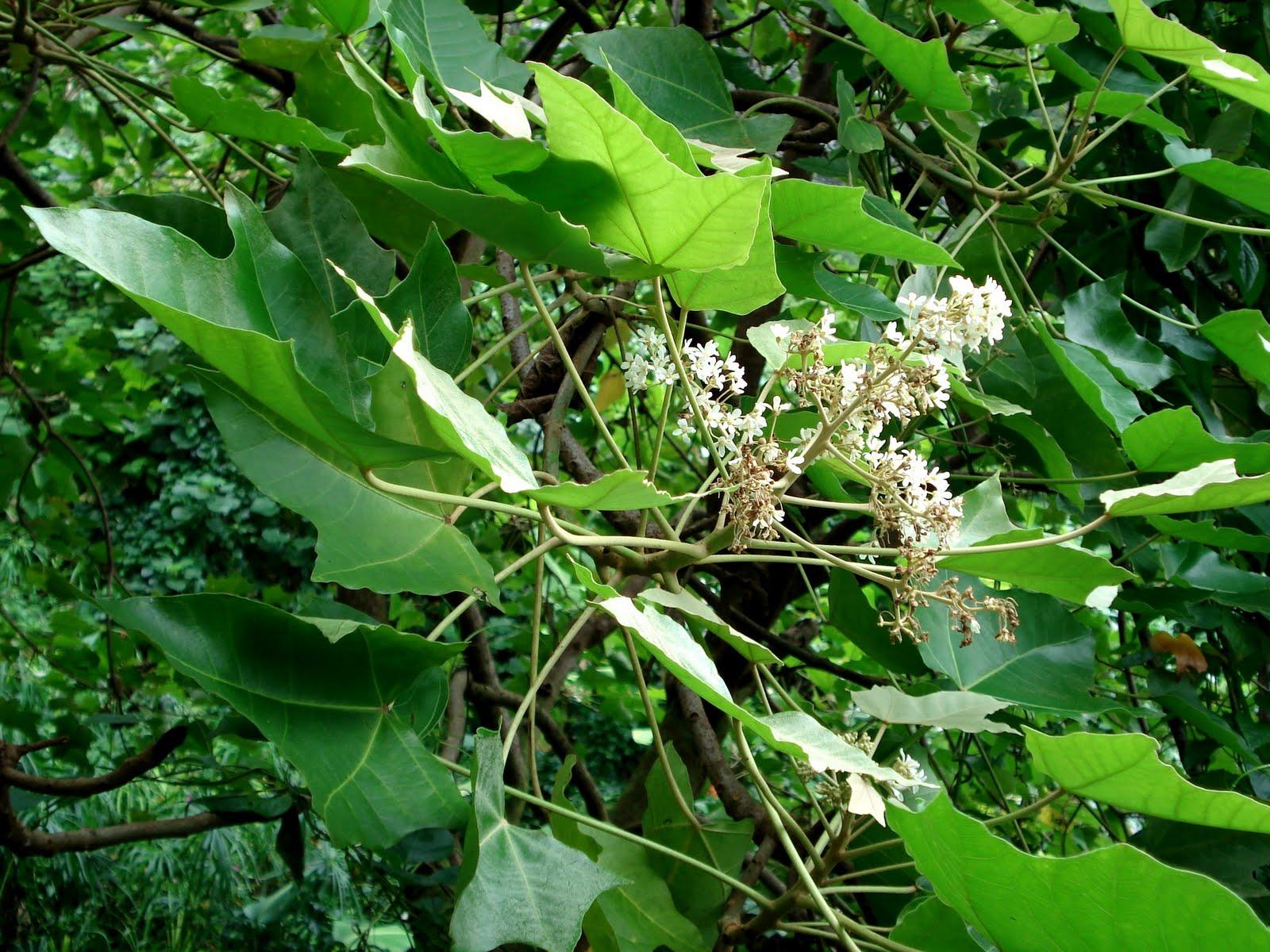Experience hawaii enjoy honolulu festival native hawaiian native hawaiian plants part ii kukui hawaiis state tree izmirmasajfo Images