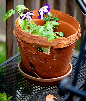 blue and white petunias in broken pot