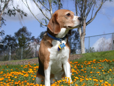 photo of a beagle looking into distance