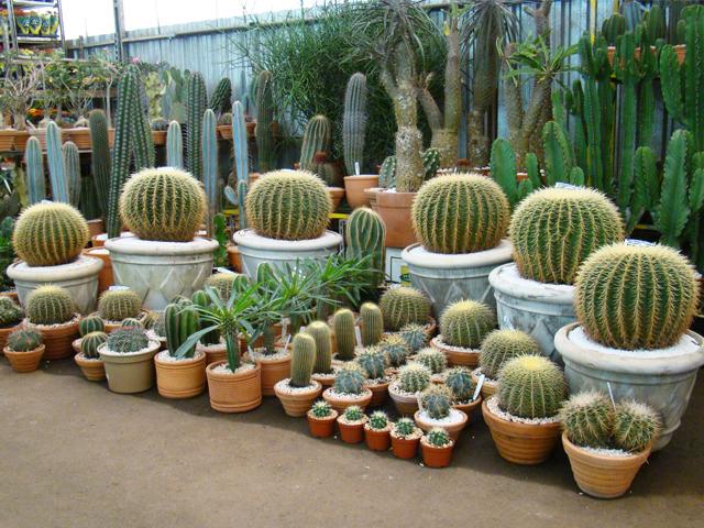 mini jardim de cactus:Agro Paisagismo: Tenha cactos, purifique o ambiente e concretize a