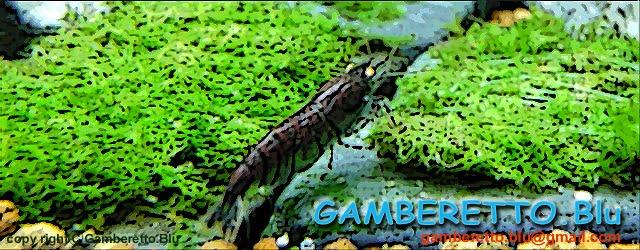 Gamberetto.Blu 〜 ガンべレット ブル 〜