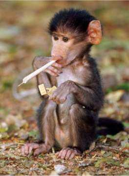 Funny Monkey Picture on Funny Monkey Smoking Jpg  264  361