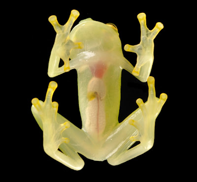 Freaky Stuff - Glass Frog