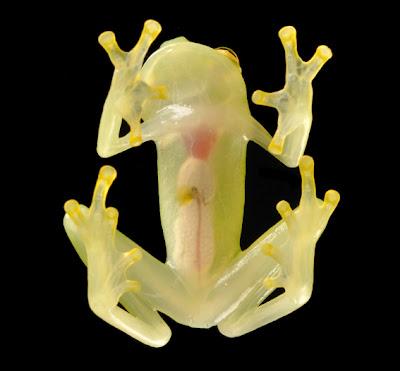 Freaky Stuff - Glass Frog