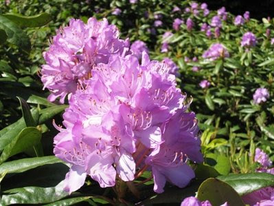 Rhododendron bushes at Chartners