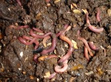 SQWorms: Red Wriggler Worms in Vermicompost.