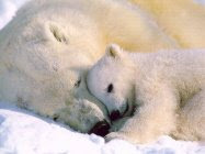[Polar Bear Mothers Limbic Love Connection]