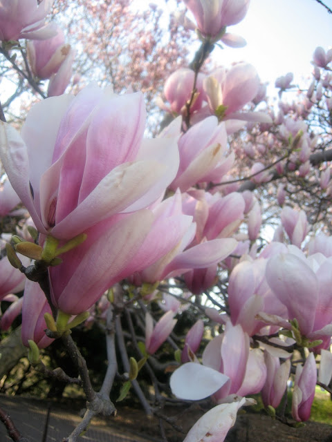 Sugar Magnolias in Central Park