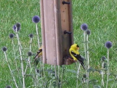 American Goldfinches! AKA Nom NOM!