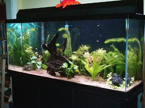Fresh water aquarium fish do you really need a 55 gallon for What do you need for a fish tank