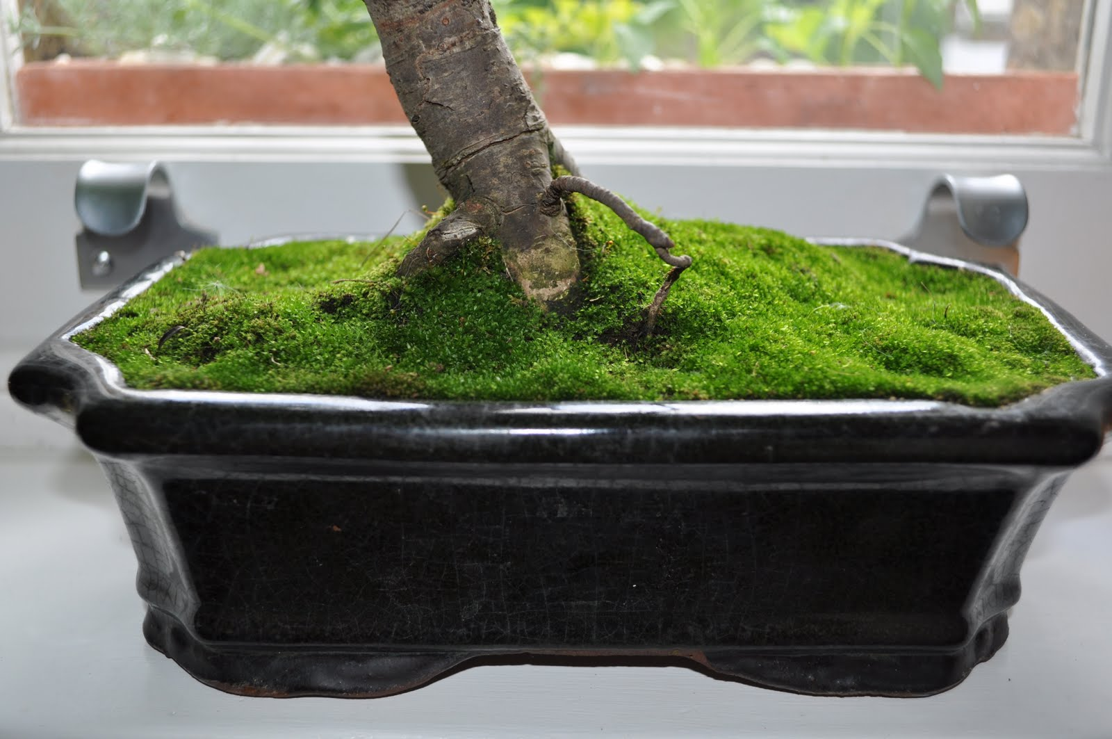 Bonsai Gakusei Moss Gotta Love The Moss