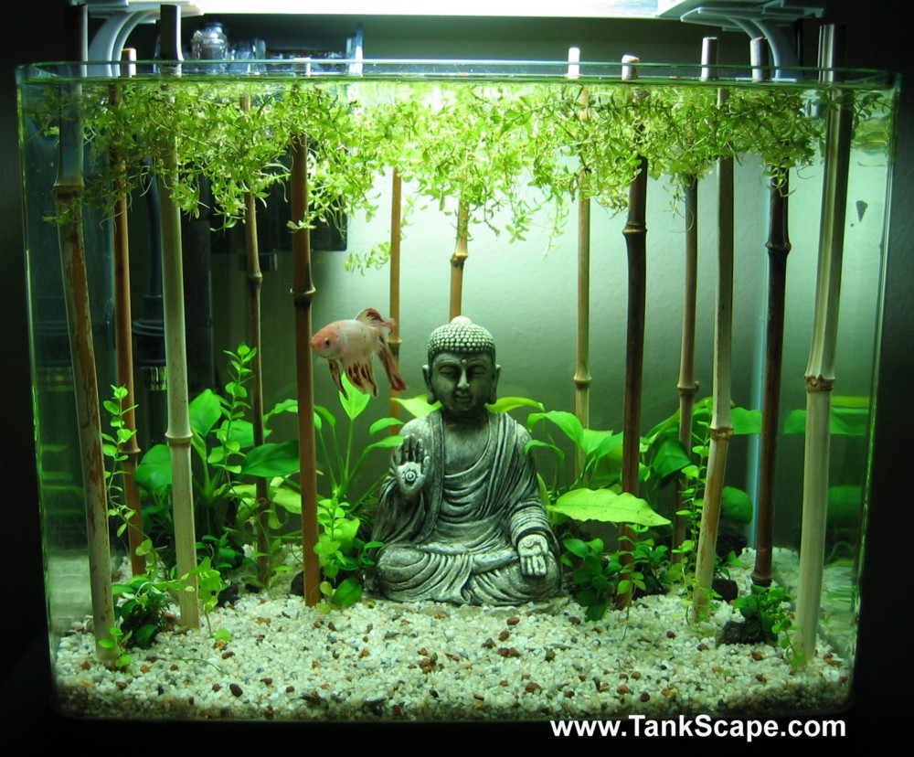 Tank scape my planted buddha betta tank for Decoration zen aquarium