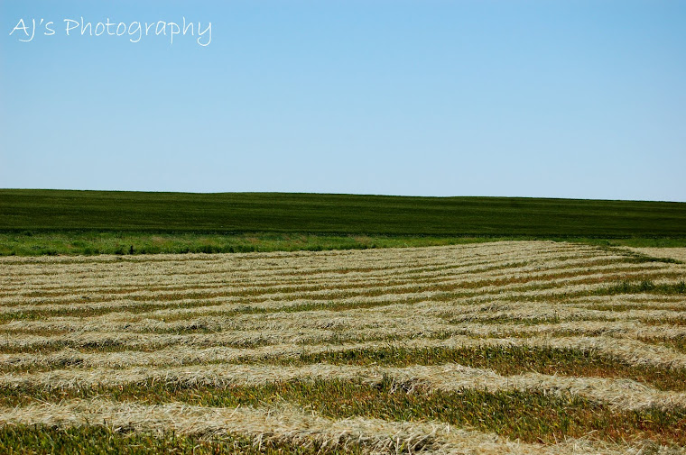 Wheat Field Cut For Hay
