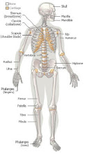 Body skeleton