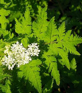Cicely leaves and flowers
