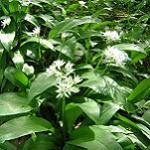 bear's garlic