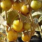 bush tomato