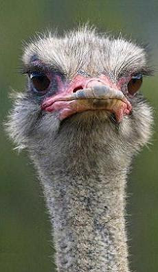 The ostrich can be a very strong-willed creature