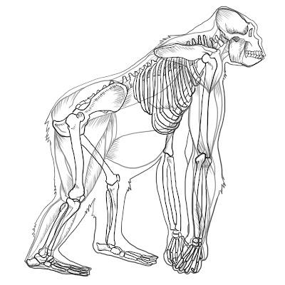 Reylas Art Gorilla Anatomy Study