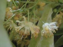 Delicate Tilia Blossoms