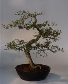 bonsai how to expensive bonsai for sale