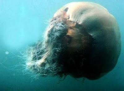 Гигантская Медуза