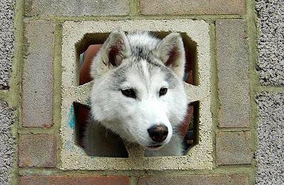 собака застряла в заборе