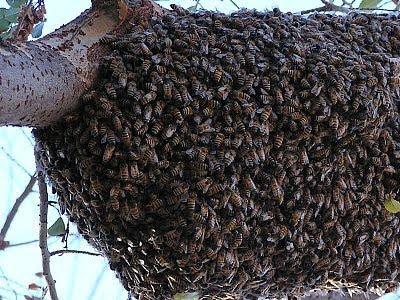 Африканизированная медовая пчела, Apis mellifera scutellata