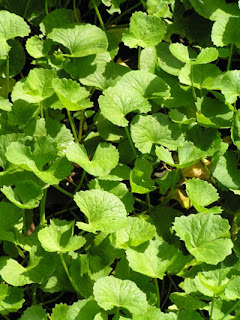 herbal plant Pennywort benefits for health