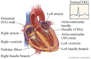 Heart Regulation Of The Cardiac Cycle | RM.